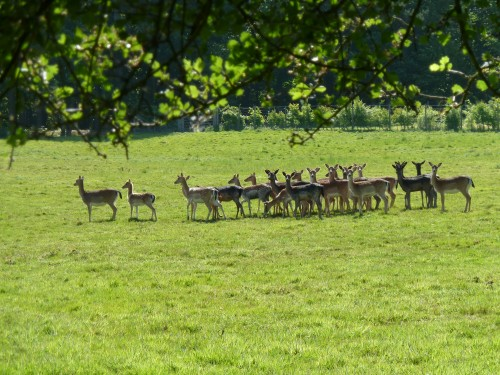 Fallow-Deer-Epping-Forest-Walking-Routes-