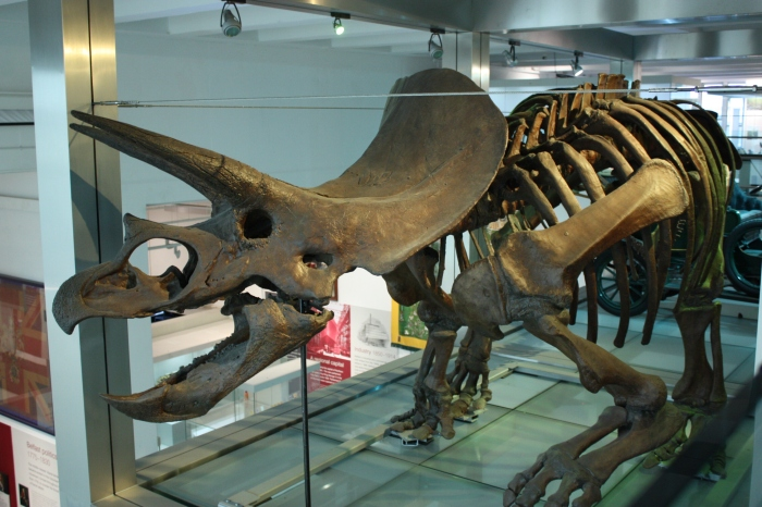 triceratops -- Oonagh Murphy