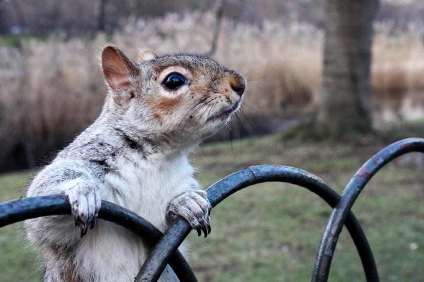 Glauber Ramos -- London Squirrel