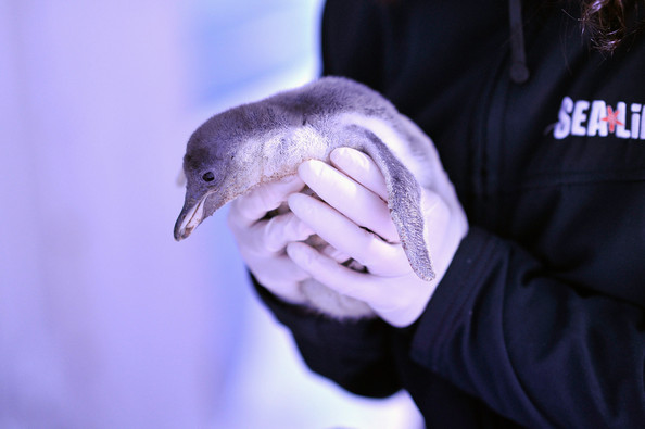 Un pingüino bebé en el London Sea Life Aquarium