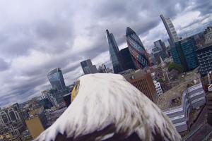 Un águila sobrevuela Londres con una cámara en su espalda
