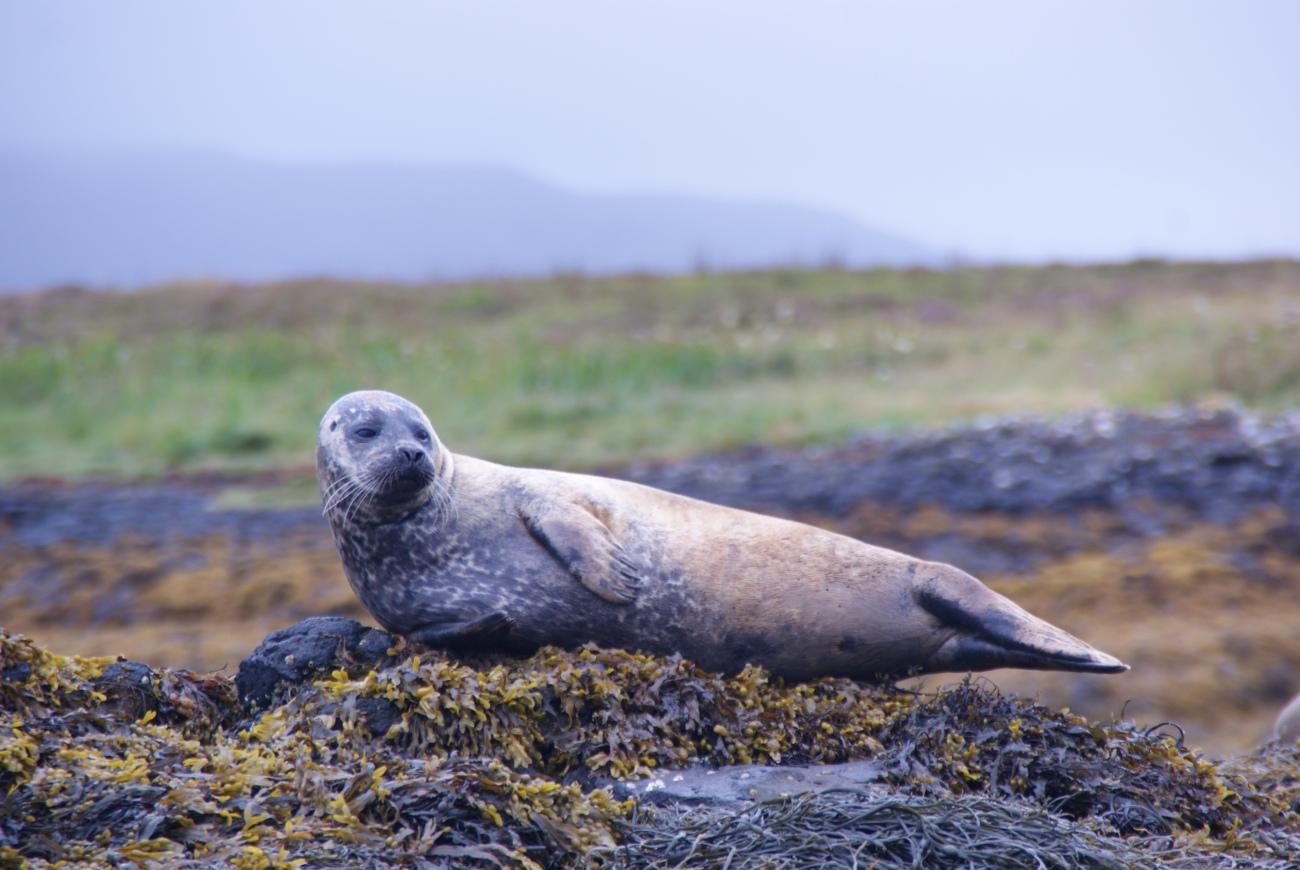Avistamiento de focas en Escocia