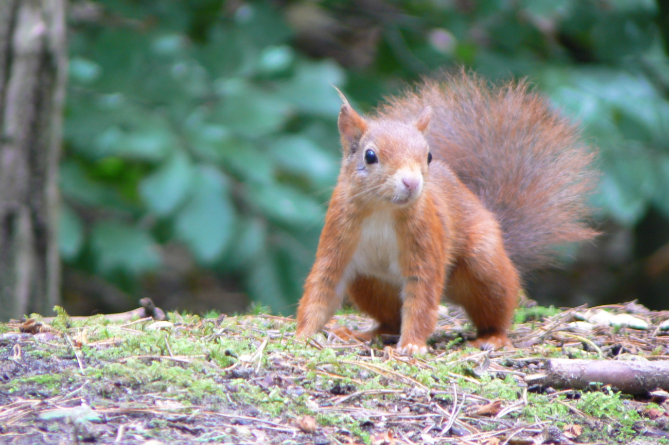 Formby_squirrel