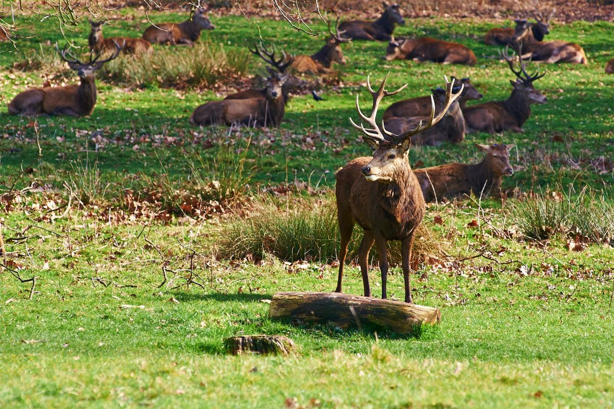 Los ciervos de Richmond Park, en Londres