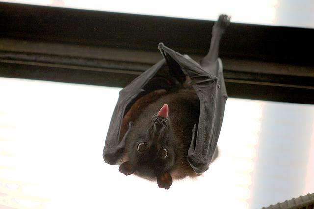 Cómo-ahuyentar-murciélagos-552.jpg