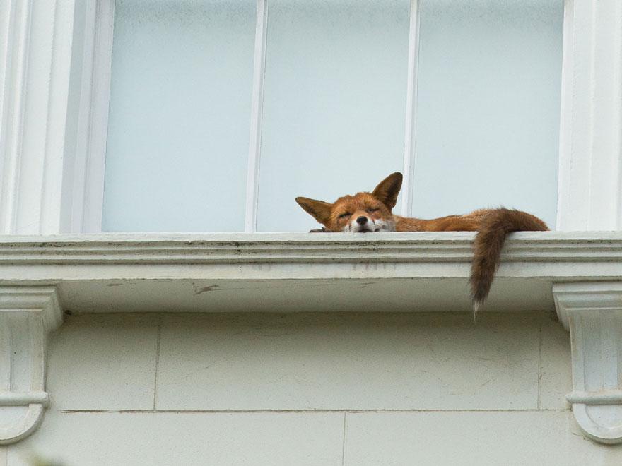 sleeping-fox-window-ledge-notting-hill-2